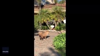 Argentina, i capibara invadono il quartiere dei vip. VIDEO