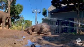 Elefante si gode una doccia di fango. VIDEO