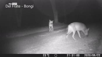 Pisa, ritorno dei lupi nel parco di San Rossore
