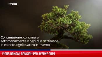 Ficus bonsai, consigli per averne cura