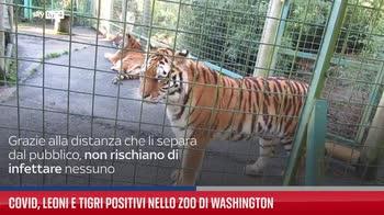 Covid, leoni e tigri positivi nello zoo di Washington