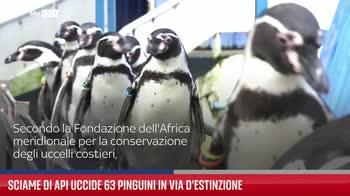 Sciame di api uccide 63 pinguini in via d'estinzione