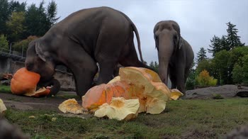Oregon, gli elefanti schiacciano zucche giganti. VIDEO
